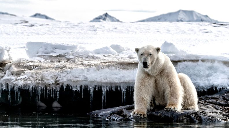 Adult male polar bear sits at the edge of the ice in Svalbard, a Norwegian archipelago between mainland Norway and the North Pole